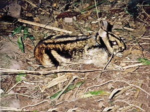 In search of the Striped rabbit of Vietnam, by Sarah Woodfin